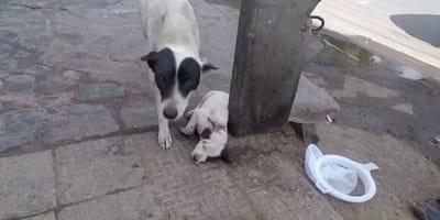 mama perro junto a su cachorro herido en la calle