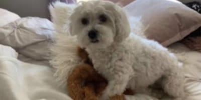 small white dog standing over teddy bear