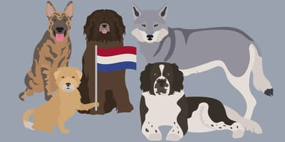 Karikaturen holländischer Hunde