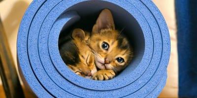 gatto-Abissino-con-deficit-di-piruvato-chinasi-riposa