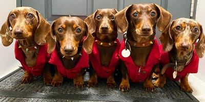pięć jamników w czerwonych ubrankach