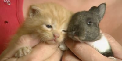 ginger kitten and grey bunny in hands