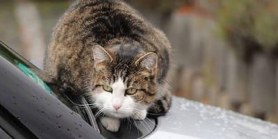 gato se mete al coche
