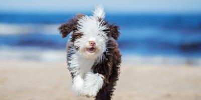 cachorro de perro de agua espanol corre por la playa