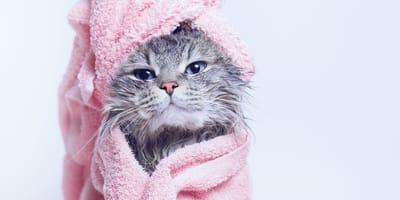 ¿Cada cuanto tiempo hay que bañar a un gato?