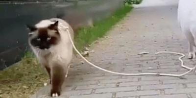 gato paseando con correa por la calle