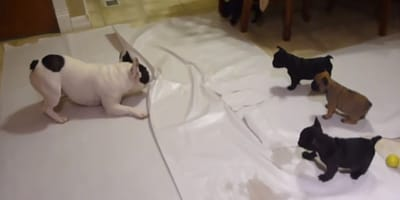 bulldog francese gioca con i suoi cuccioli