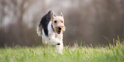 Airedale dog running in field