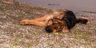 Trauriger Schäferhund liegt am Boden
