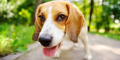 beagle con sindrome de dowm