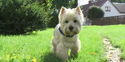 Zaginiony west highland white terrier