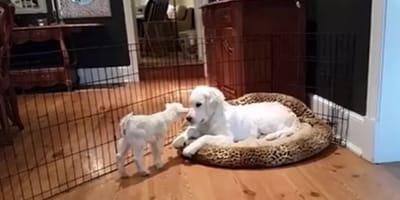 white goat kid sniffing golden retriever in dog bed
