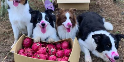 four border collies with red stains on their snouts