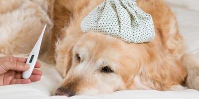 <p>gorączka u psa</p>