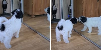 black and white spanish water dog puppy looking at reflection in mirror