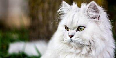 Nombres para gatos persas en inglés y su significado