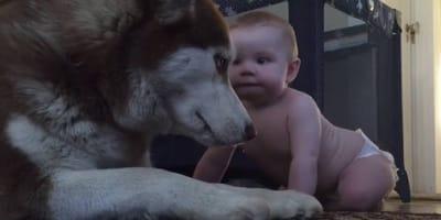 husky cuida a bebe