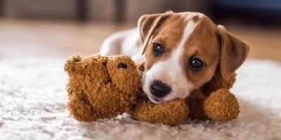 Beagle dog with his teddy bear