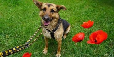 perro mestizo de pastor alemán en el césped
