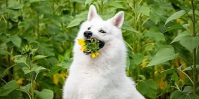 Dog eating a sunflower