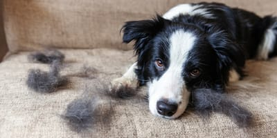 Dealing with your dog's shedding in the fall