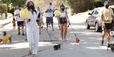 A parade of Dachshunds through the town of La Jolla, CA