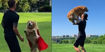 Golden Retriever jumps into owner's arms