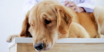 cane-disteso-dal-veterinario