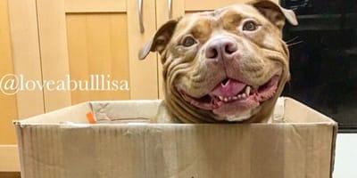 Pitbull, który stale się uśmiecha. Kiedy poznacie powód, też to zrobicie