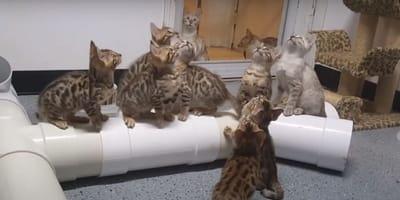 Bengalskie kocieta polują na zabawkę