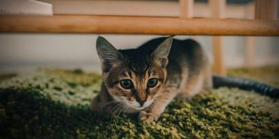 Kot na dywanie