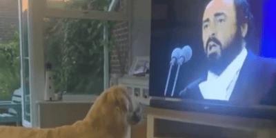 golden retriever watching pavarotti on the TV