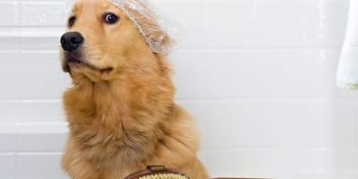 Golden retriever stanowczo odmawia kąpieli i robi to tak zabawnie, że padniecie ze śmiechu!