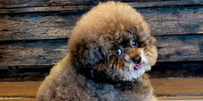 A fluffy toy poodle