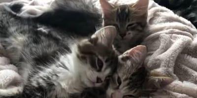 Three tabby male kittens