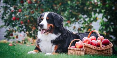 perro echado junto a una canasta de manzanas en un jardin