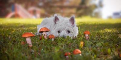 Czy pies może jeść grzyby? I co zrobić w razie zatrucia?