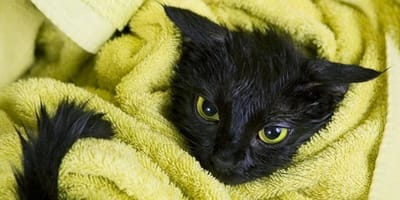 Kot w ręczniku po kąpieli