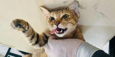 Kätzchen muss kastriert werden: Aber beim Tierarzt lüftet sich sein trauriges Geheimnis