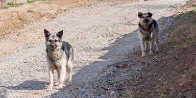 dos perros grandes en mitad del campo