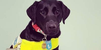 Picture of black labrador guide dog Zena