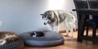 malamute standing in front of cat sleeping on dog bed