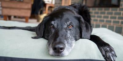 perro anciano de color negro y con canas tumbado en un cama