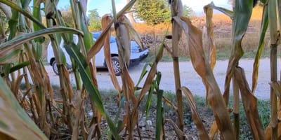Se esconde en un sembradío de maíz y empieza a filmar: lo que hace su vecina es para una pelicula de miedo