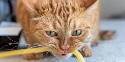 Pica-Syndrom: Lebensgefährliche Essstörung bei Katzen