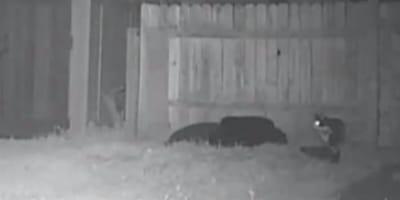 cctv footage of black cat in a garden