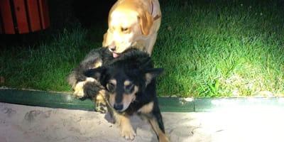 Czarny kundelek czeka na pomoc w towarzystwie labradorki