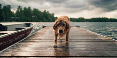 Pies na pomoście nad jeziorem