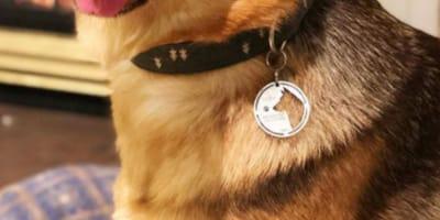 Dog wearing silver tag