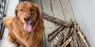 golden retriever in posa vicino a bastoni di legno